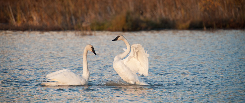 2 swans in Anchorage
